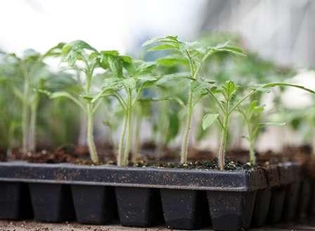 Определившись со сроками высадки томатов на постоянное место, можно легко высчитать время, подходящее для посева семян.