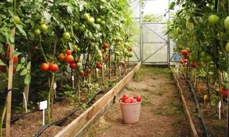 Тема, которую подготовил для вас наш сайт о фермерстве, — «Помидоры в теплице из поликарбоната: посадка и уход».
