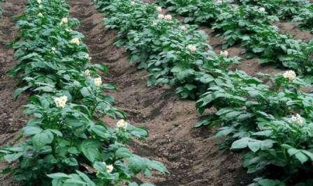 усты картофеля Удача имеют среднюю высоту, они густо покрыты листвой матово–зеленого цвета. В период цветения богато покрыты белыми, слегка отогнутыми лепестками.