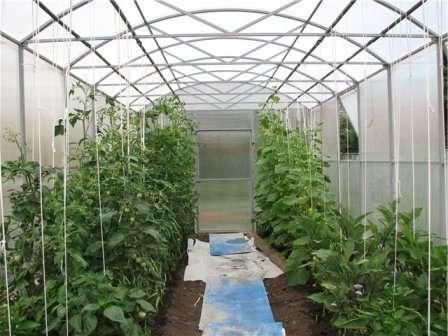 Пасленовые предпочитаю полив под корень, их ботву лучше не мочить, а длинные зеленцы хорошо развиваются, принимая теплый душ.