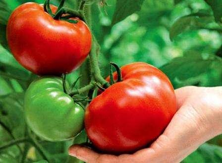 Сорта томатов для средней полосы c описанием и фото