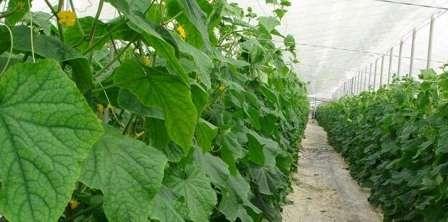 Огурцы любят расти в условиях «баньки». То есть им нужна повышенная влажность (75-85%) и стабильная температура воздуха (до 27 — днем и не ниже 16 ºС — ночью).