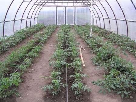 За весь период вегетации томаты следует подкормить несколько раз