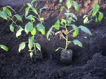Когда сажать перец на рассаду в 2018 году? Сроки посадки