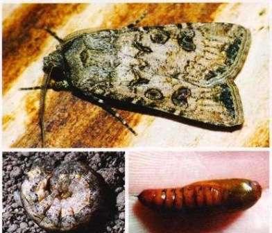 Для томатов опасны личинки совки, которые, появляются из кладки, оставленной их матерью на их листьях или на соседних сорняках.