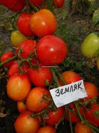 мляк. Сорт отличается стабильной урожайностью. Помидоры на невысоких кустах (до 70 см) поспевают рано — на 95-100 день, образуя кисти по 15 плодов.