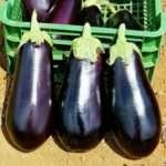 Советы огородников по выращиванию баклажанов в открытом грунте