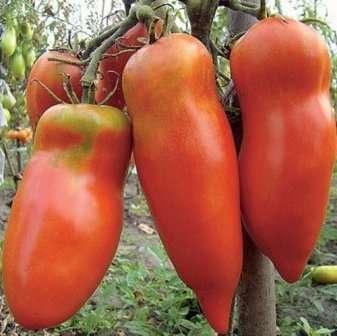 Обращают на себя внимание интересная удлиненная форма плодов. Он нетребователен к почве и колебанию температуры, устойчив к болезням.