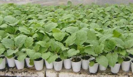 Семена следует высаживать сразу в отдельные емкости, чтобы не пришлось проводить пикировку.