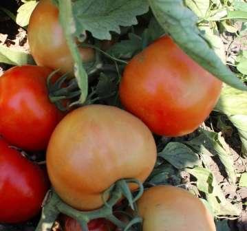 Лучшие сорта томатов детерминантных: посадка и уход