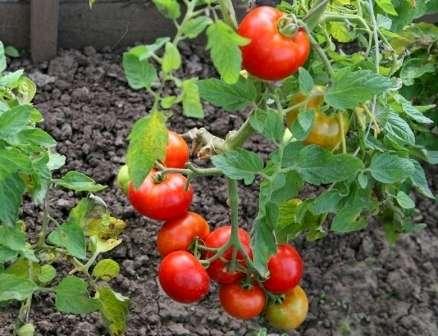 Круглые помидоры среднего размера, которые могу иметь самое разное применение — это прекрасный вариант.