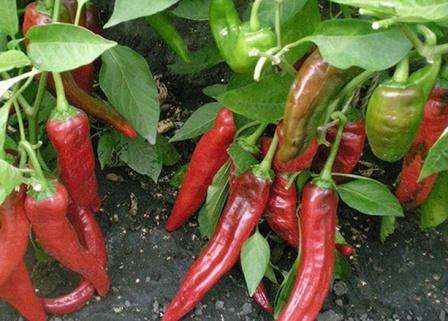 Длинный (18-20 см) хоботовидный и толстостенный перец. Рассматриваемый сорт имеет три главных достоинства: высокая урожайность, устойчивость к вирусам и сильному летнему зною.