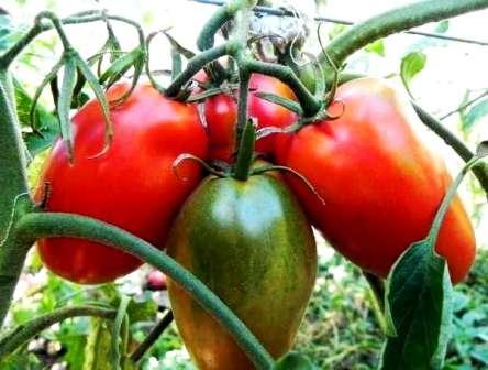 Плоды разновидностей этого гибрида имеют различный окрас. Они весят около 70 г, а сорт с приставкой «Царский» — 120 г.