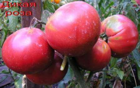 Раннеспелый сорт салатных томатов, которые имеют высокий процент сухого вещества и сахара, но не лишены кислинки.