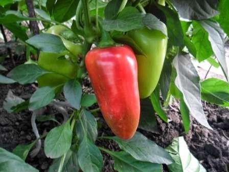 Купец — отличается полураскидистыми штамбовыми кустами и красными плодами среднего размера, поспевающими достаточно рано и имеющими сладкий вкус.