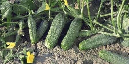 Криспина — для этого сорта прекрасно подойдут условия открытого и закрытого грунта. Плоды корнишонного типа до 12 см в длину с мелкими бугорками.