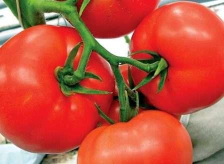 Один из новых детерминантных сортов томатов.