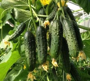 Махаон — ранний самоопыляемый гибрид корнишонного типа. Его можно растить на балконах, в открытом грунте и парнике.