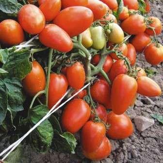 Многие дачники, фермеры и хозяйки особенно любят сливовидные помидоры.