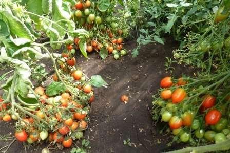 Эта группа томатов отличается миниатюрными плодами, вес которых может быть от 15 до 50 г. Обычно они очень сладкие, а потому являются любимыми помидорами детишек.