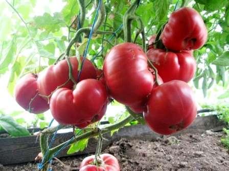 Группа салатных помидоров объединяет в себе сорта с крупными и сладкими плодами, которые имеют отличный вкус без переработки и не подходят для цельноплодного консервирования по причине больших габаритов и тонкой кожуры.