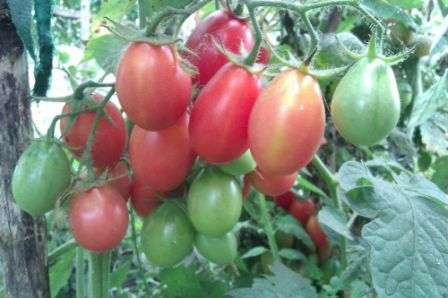 Этот высокорослый томат может похвастаться одновременно и огромным количеством плодов, и великолепным вкусом плодов, и хорошим иммунитетом.
