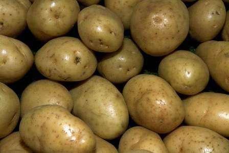 Картофель Скарб выкапывают примерно в конце августа, после чего урожай нужно тщательно просушить и сложить для хранения в деревянные емкости. В темном месте. Лучше всего для этой цели подойдет погреб. Хранить этот сорт нужно при средней температуре в пять градусов.