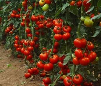 Индетерминантные сорта томатов для открытого грунта