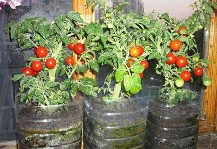 Днем температура воздуха в помещении, где растут помидоры должна быть в районе 25 ºС, а ночью — 15 ºС.