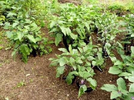 Пересаживать рассаду «синеньких» в открытый грунт можно на стадии полного развития не менее пяти листочков, 10-сантиметровой высоте ростков и хорошо развитой системе корней.