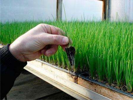 В феврале-марте посеять семена в непрозрачную емкость, накрыть полиэтиленом и поставить в теплое место.