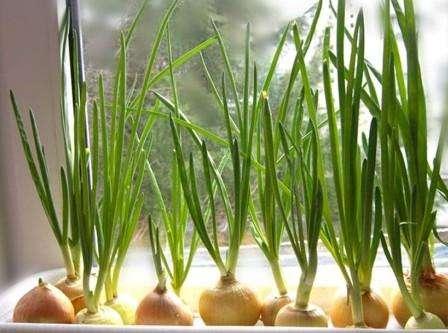 Как вырастить лук дома 2 пошаговые инструкции с фото 32
