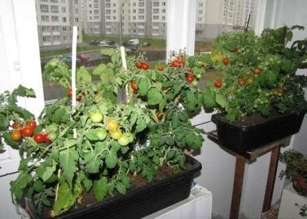 Хорошо, если выбранный вами сорт для выращивания в домашних условиях будет теневыносливым.