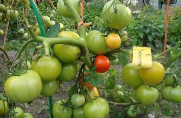 Из многочисленных отзывов видно, что овощеводов радует возможнотьраннего снятия плодов — на 85 день после посадки.