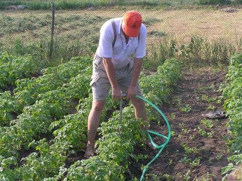 Полив. Важно вовремя поливать картофель, не допуская излишнего пересушивания земли. Поливать культуру нужно реже двух раз в течение недели, желательно использовать для этого специально отстоянную воду теплой температуры. Но за две-три недели до сбора урожая, нужно прекращать.