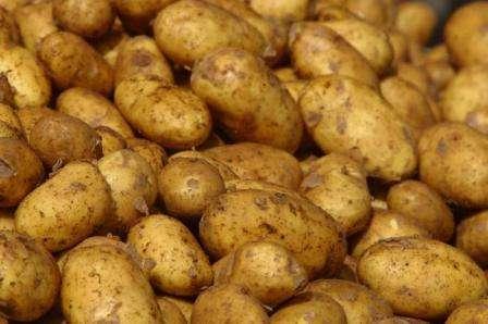 """Описание сорта картофеля """"Скарб"""", фото"""