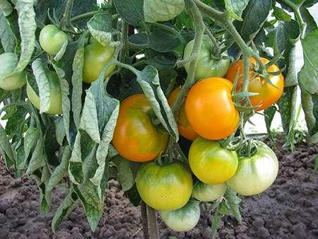 Томат Хурма отличается мощным стеблем и высокой облиственностью, благодаря чему достигается хорошая устойчивость в период летнего зноя.