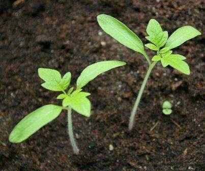 За одну-две недели до высадки в ОГ или теплицу начните закаливание ростков, вынося их на свежий воздух. Продолжительность закаливания увеличивайте постепенно.
