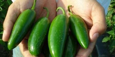 Высота куста обычно приблизительно 1 м, длинна перцев — 10 см. На каждом растении созревает в среднем 35 перчин.