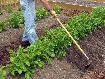 Рыхление. Обязательное рыхление поверхности почвы, особенно после полива или обильного дождя. Эта процедура обогащает почву кислородом, что позволяет корневой системе лучше и быстрее расти и развиваться.