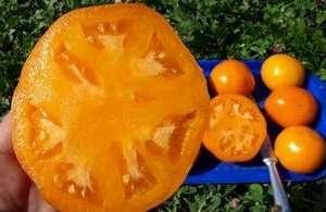 Этот нюанс особенно интересует дачников и фермеров. Так вот, на радость тех и других сорт томата Хурма обладает прекрасными качествами салатных помидоров