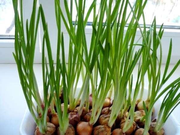 Применение грунта для проращивания лука дома даст вам такие преимущества: • как минимум два урожая; • луковица не гниет, а соответственно, не издает запах; • это красиво смотрится на окне.