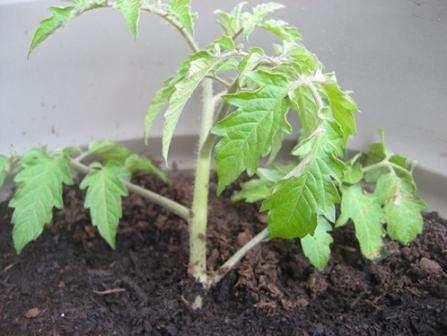 Посадка семян и уход за рассадой проходят по стандартной схеме. Высадку производят в шахматном порядке, соблюдая между растениями дистанцию в 50 см.
