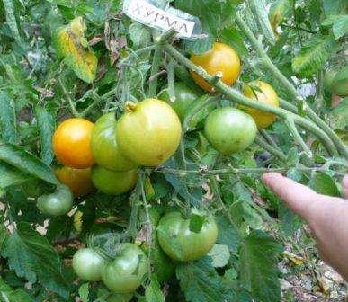 Мясистые плоды будут пригибать куст к земле, поэтому в описании уходы за этим сортом томатов вы всегда будете читать о необходимости подвязки.
