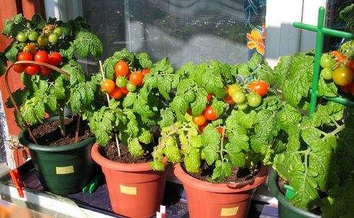 Выращивание помидоров зимой в домашних условиях реально для каждого, у кого есть достаточное количество свободного пространства дома.