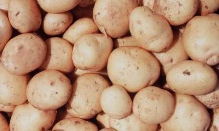 Мякоть картофеля бледно желтого цвета, плотная, содержит около четырнадцати процентов крахмала.