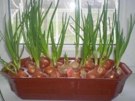 Кстати, в качестве контейнера можно применить банку, стакан, упаковку для яиц или специальную емкость для проращивания лука дома.