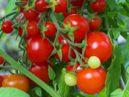 Если вы находитесь в поисках подходящего сорта низкорослых помидоров, то вы точно сможете что-нибудь выбрать из предложенных ниже вариантов.