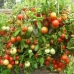 Ранние низкорослые сорта томатов для открытого грунта