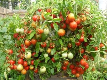 Итак, на этой странице нашего сайта, созданного для начинающих фермеров, мы расскажем вам про ранние сорта томатов для открытого грунта, низкорослые.